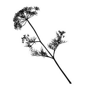 A fennel