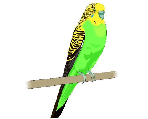 По-английски волнистый попугайчик будет - a budgie